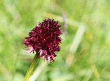 Flora alpina: Orchidea di vaniglia nera (nigra di nigritella) Fotografia Stock Libera da Diritti