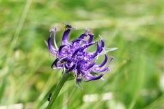 Flora alpina: rampion de cabeza redonda (orbiculare de Phyteuma) Imágenes de archivo libres de regalías