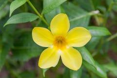 Flora amarilla Fotos de archivo libres de regalías