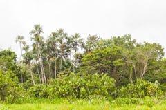 Flora amazónica, parque nacional Yasuni, Suramérica Imagenes de archivo