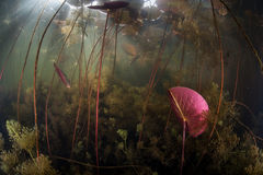 Flora aquática no lago de água doce fotografia de stock royalty free