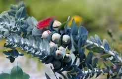 Flora australiana: Fowers rojos de los árboles del eucalythus Foto de archivo