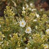 Flora av Gran Canaria - Cistusmonspeliensis royaltyfria bilder