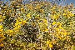 Flora av Souss Masa National Park Arkivfoto