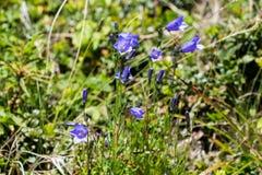 Flora av ukrainareCarpathians berg Arkivfoton
