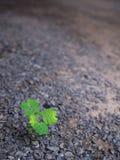 Flora Begins Life indesiderata sola Fotografia Stock