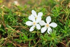 Flora bianca Fotografie Stock