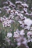 Flora bonita do Verbena imagens de stock royalty free