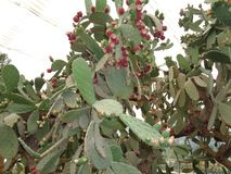 Flora of Bulgaria. City of Nessebar. stock photos