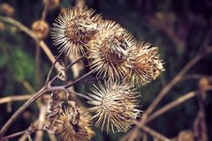 Flora, Burdock, Thorns Spines And Prickles, Greater Burdock Stock Images