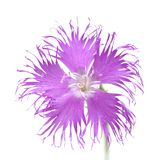 Flora of Cantabria - Dianthus hyssopifolius. Hyssop-leaved carnation stock photos