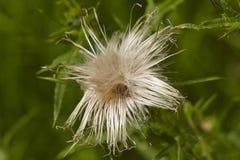Flora - cardo de Maria Foto de archivo