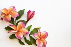 Flora colorida do locla do frangipani das flores de Ásia em branco foto de stock