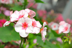 Flora cor-de-rosa imagens de stock royalty free