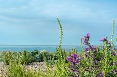 Flora costiera - Inghilterra del sud Immagine Stock