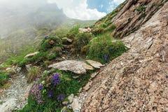Flora da montanha dos fagaras imagens de stock royalty free