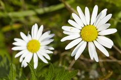 Flora - Daisies Royalty Free Stock Images
