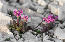 Flora dalle dolomia - ITALIA della montagna Fotografie Stock