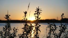 Flora das plantas no fundo do por do sol e da ?gua foto de stock royalty free
