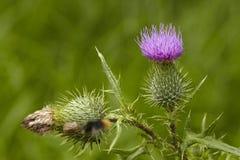 Flora - de distel van Mary Royalty-vrije Stock Afbeeldingen