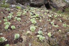 Flora de Gran Canaria Imagen de archivo libre de regalías