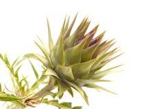 Flora de Gran Canaria - alcachofa de globo imagen de archivo libre de regalías