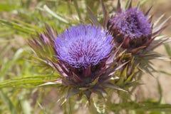 Flora de Gran Canaria - alcachofra imagem de stock royalty free