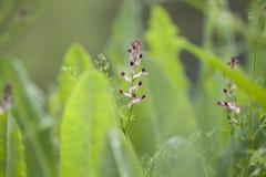 Flora de Gran Canaria - Fumaria foto de stock royalty free