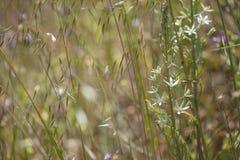 Flora de Gran Canaria - Ornithogalum fotos de stock royalty free