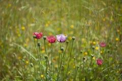 Flora de Gran Canaria - papoilas cor-de-rosa imagens de stock