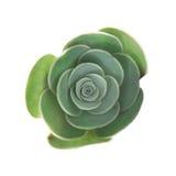 Flora de Gran Canaria - pequeña planta del Aeonium Fotografía de archivo libre de regalías