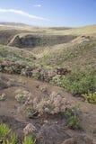 Flora de Gran Canaria - percarneum del Aeonium Fotos de archivo libres de regalías