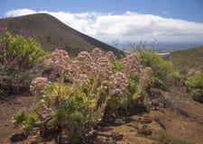 Flora de Gran Canaria - percarneum del Aeonium Imágenes de archivo libres de regalías