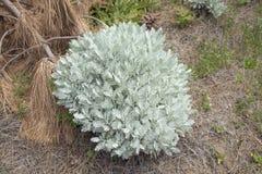 Flora de Gran Canaria - ptarmiciflorum do Tanacetum foto de stock