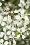 flora de Gran Canaria, raphanistrum de Raphanus Imagenes de archivo