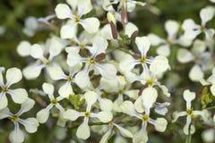 flora de Gran Canaria, raphanistrum de Raphanus Imágenes de archivo libres de regalías