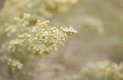Flora de Gran Canaria - thuscula da artem?sia fotos de stock royalty free