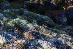 Flora de Islândia foto de stock