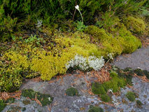 Flora de Karelia, Zalavruga Fotos de archivo libres de regalías