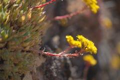 Flora de mamie Canaria - spathulatum d'Aeonium Photos stock