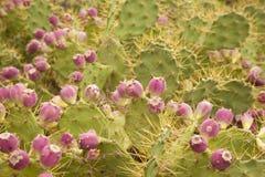 Flora de mamie Canaria - stricta d'opuntia Photos libres de droits