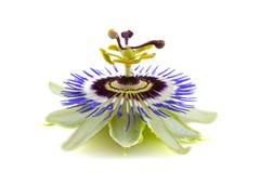 Flora de Passie Imágenes de archivo libres de regalías