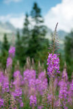 Flora de Tatras alto, Eslováquia Imagem de Stock Royalty Free