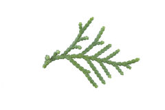 Single Evergreen leaf Stock Photography
