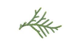 Single Evergreen leaf Stock Photography