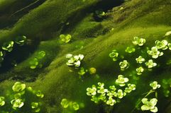 Flora del agua Fotografía de archivo