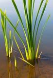 Flora del agua Fotos de archivo libres de regalías