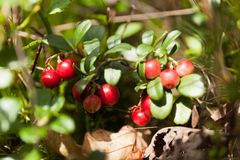 Flora del ar?ndano, lingonberry del bosque, comida antioxidante del oto?o fotografía de archivo libre de regalías