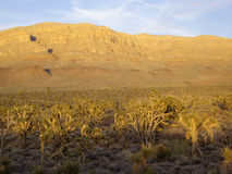 Flora del deserto dell'Arizona Fotografia Stock Libera da Diritti