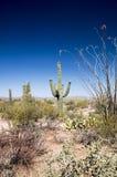 Flora del desierto Fotografía de archivo libre de regalías